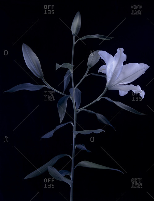 Lily with buds and bloom in the moonlight