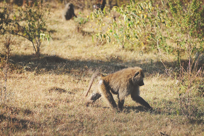 Baboon walking through grass in the Ngorongoro Crater
