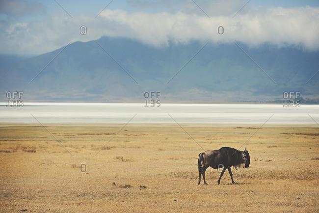 A wildebeest in Tanzania