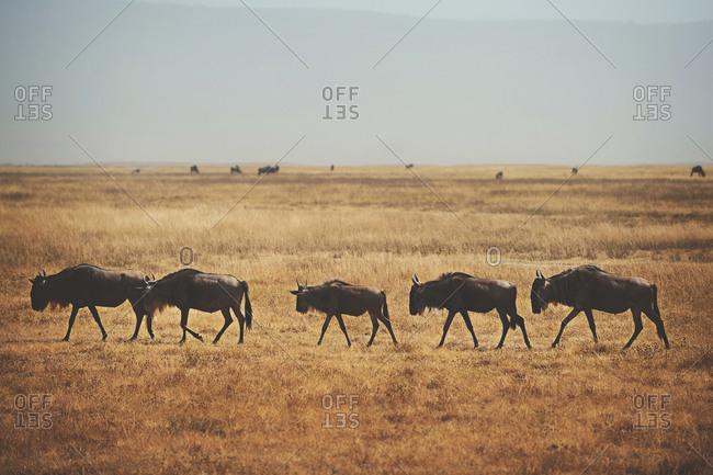 A herd of wildebeest in Tanzania