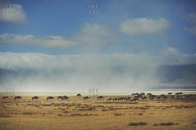 A herd of wildebeest in rural Tanzania