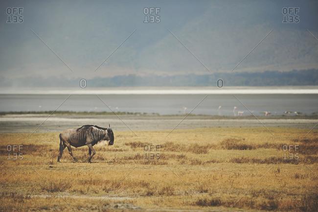 A wildebeest in rural Tanzania