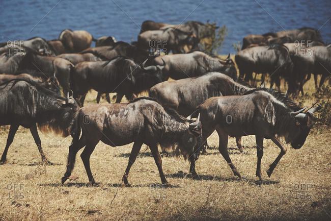A herd of wildebeest near a waterhole in rural Tanzania