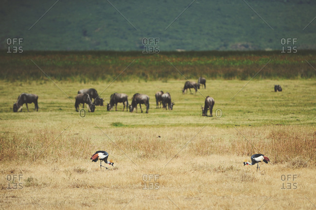 Two grey-crowned cranes feeding alongside wildebeest herd in the Ngorongoro Crater