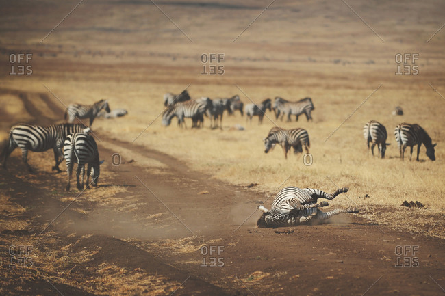 A zebra lying on its side on a road in rural Tanzania