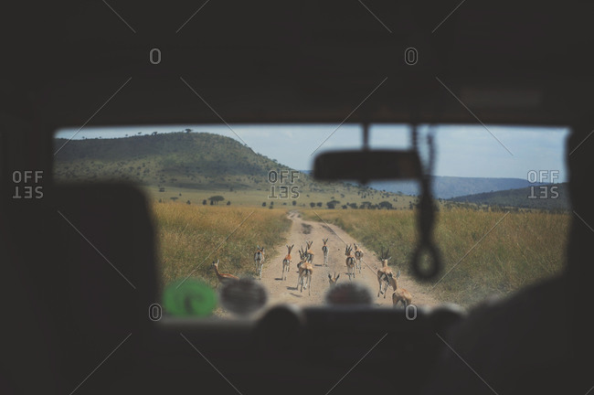 View of gazelle through the windshield of a safari vehicle on the road in rural Africa