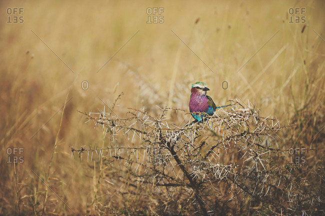 Colorful Lilac Breasted Roller bird perched on a dry branch in the grass