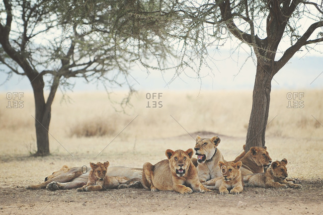 Lion pride resting under shade trees in the African Serengeti