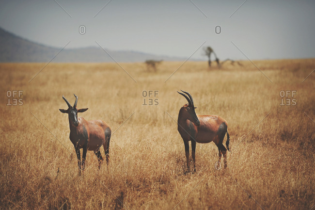 A pair of grassland antelope in the African Serengeti