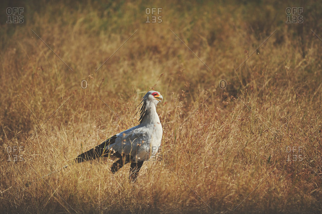 Secretarybird walking in the grass of the African Serengeti