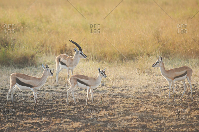 Four Thomson's gazelle in the African Serengeti