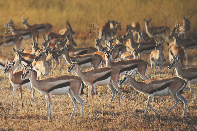 A herd of Thomson's gazelle in the African Serengeti