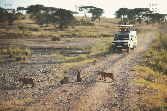 Tanzania - July 19, 2015: Safari vehicle parked on a road near a lion pride in the African Serengeti