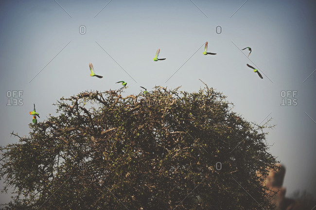Fischer's Lovebird flock flying from a tree in the African Serengeti