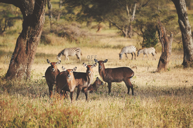 Herd of female waterbuck in the African Serengeti