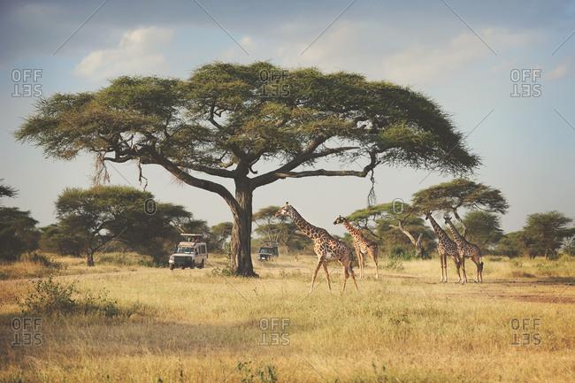 Two trucks passing giraffes in the African Serengeti