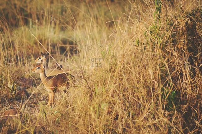 Pair of Dik Dik hidden along a grassy mound in the African Serengeti
