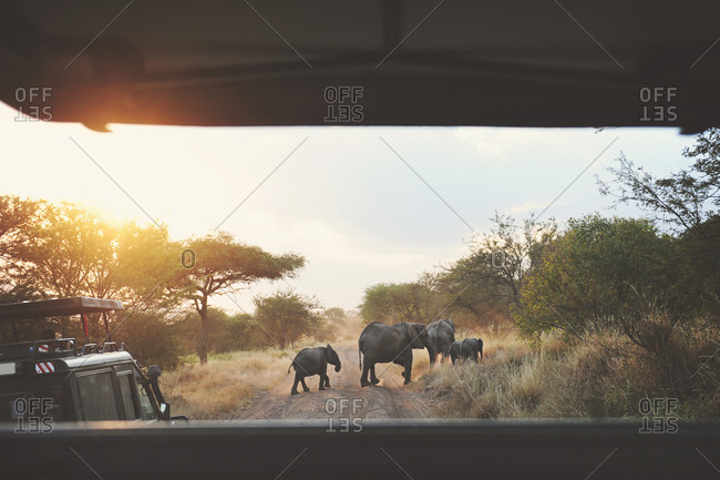 African elephants crossing road ahead of safari caravan in the African Serengeti