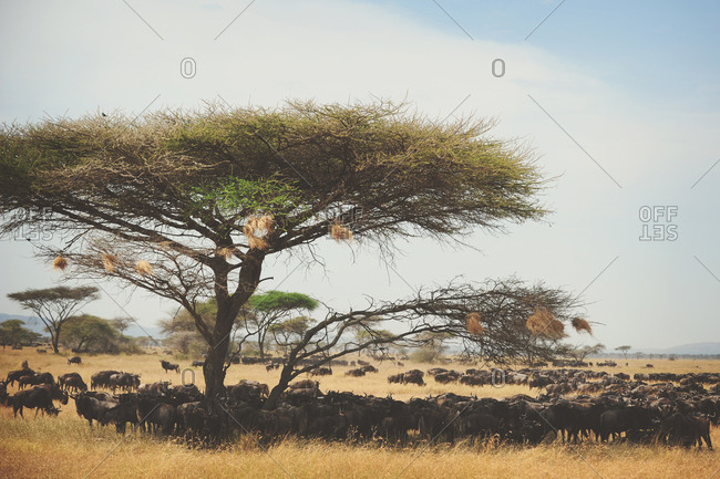 Wildebeest migration huddle around a tree