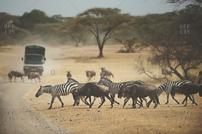 Safari vehicle parked on a road near a wildebeest and zebra migration in the African Serengeti