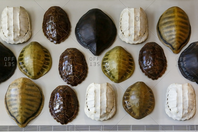 Variety of tortoise shells displayed on a wall