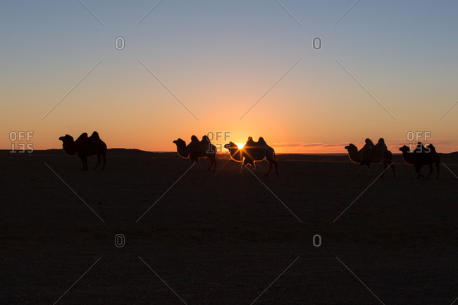Bactrin camels silhouetted at sunset in the Gobi Desert