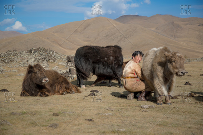 Mongolia - September 28, 2013: A nomadic woman wearing traditional clothing milking her Yak in the Mongolian steppe