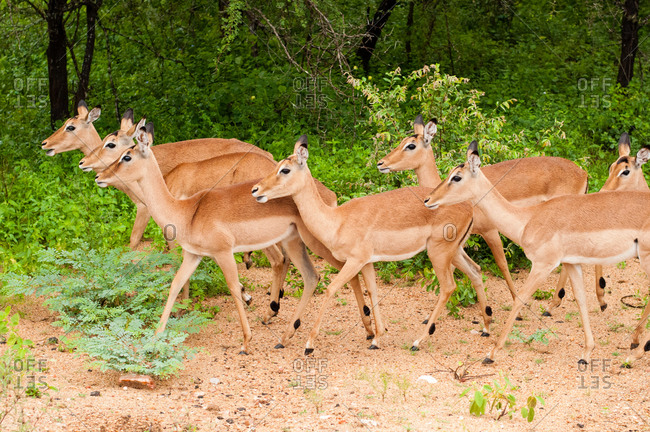 Herd of female gazelles - Offset