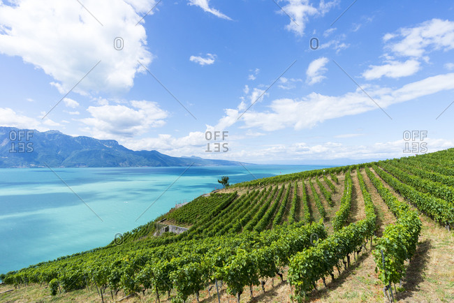 Rows of grapevines on a hill above an alpine lake