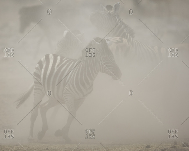 Young zebra in dust - Offset