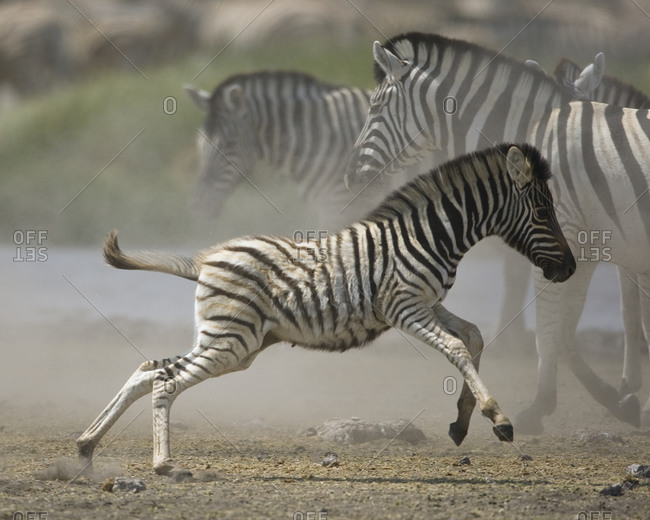 Young zebra from the Offset Collection