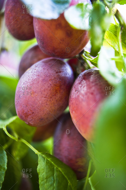 Plums on plum tree