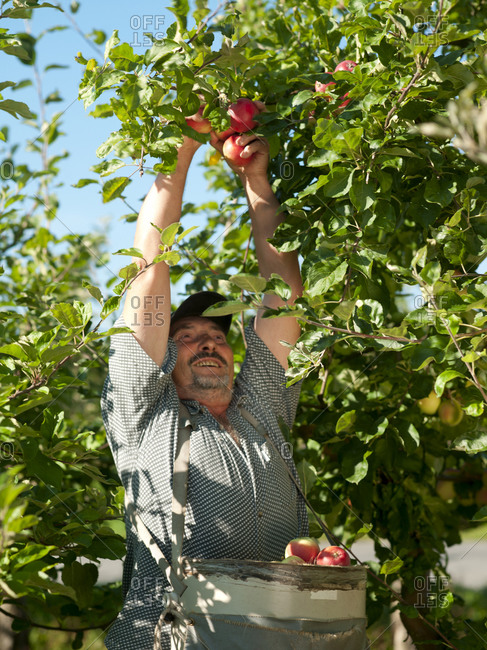 Farmer picking apples from tree