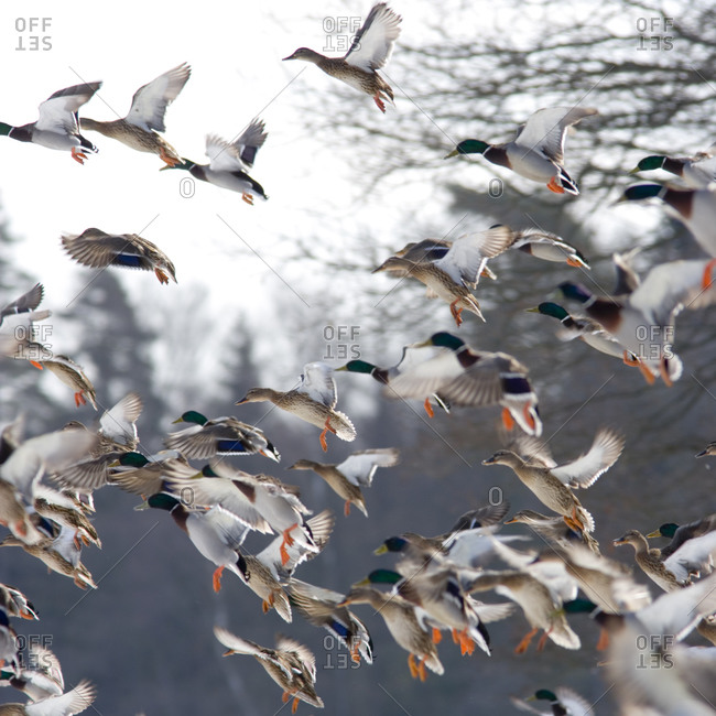 Wild ducks flying away