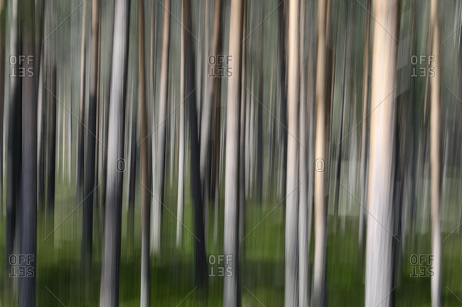 Blurred motion of tree trunks