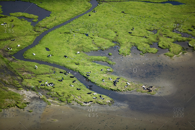 Cows at a field by the ocean