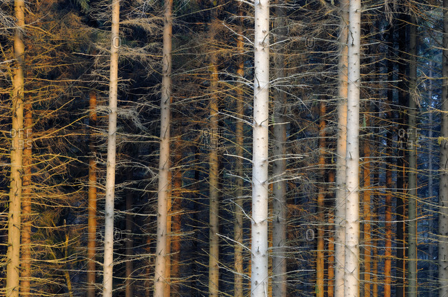 Tree trunks of pine tree