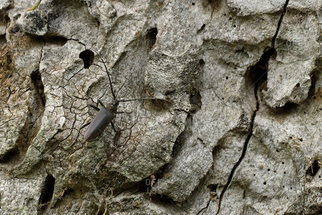 Great Capricorn Beetle on a tree trunk