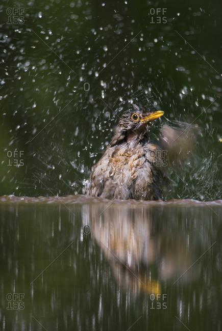 A bathing blackbird - Offset Collection