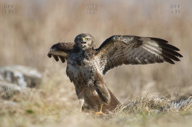 Eurasian buzzard flapping wings, close-up