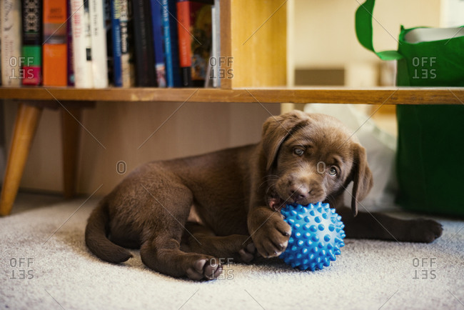 Brown puppy chewing on a blue bumpy ball