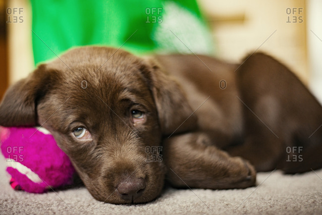 Tired brown puppy lying on a purple ball