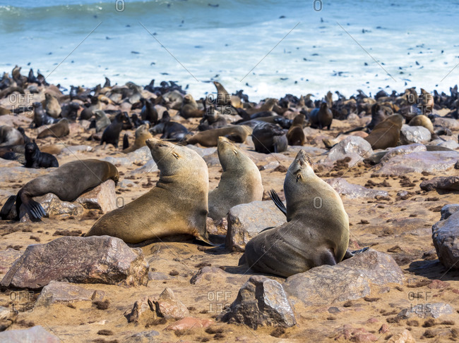 Brown fur seal in Namibia