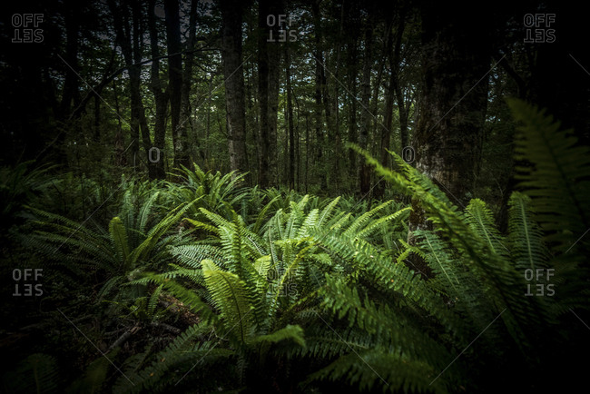 Green leafy ferns in a forest