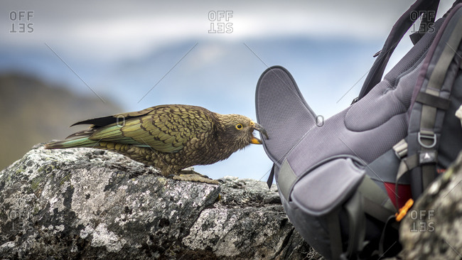Wild parrot biting the strap of a hiker's backpack