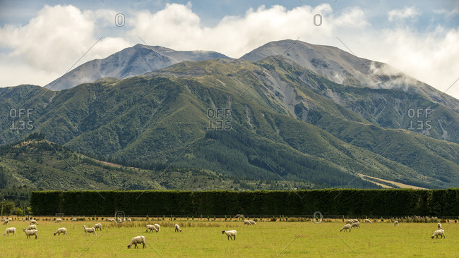 Sheep grazing in a pasture in a mountain valley in New Zealand