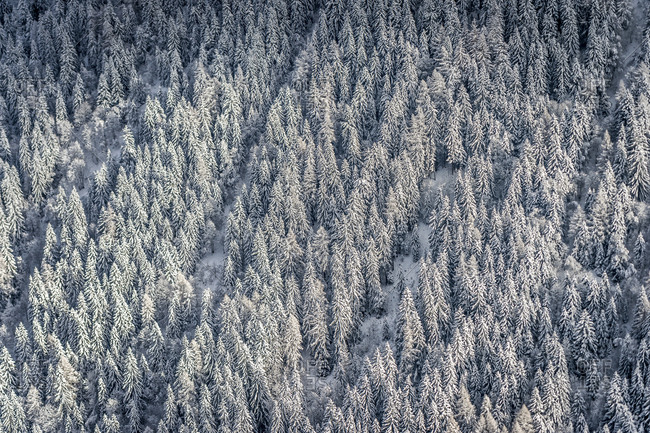 Vast forest of evergreen trees covered in snow