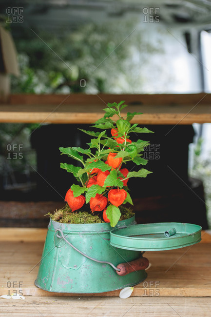 Chinese lantern plant in a green potting tin