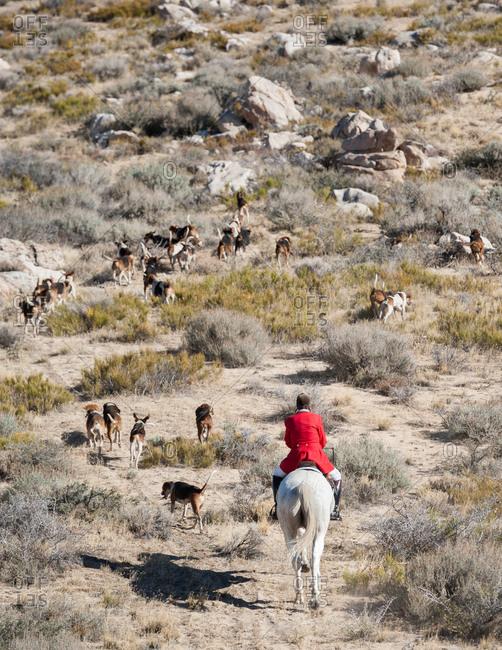 Huntsman in red coat follows hounds on horseback