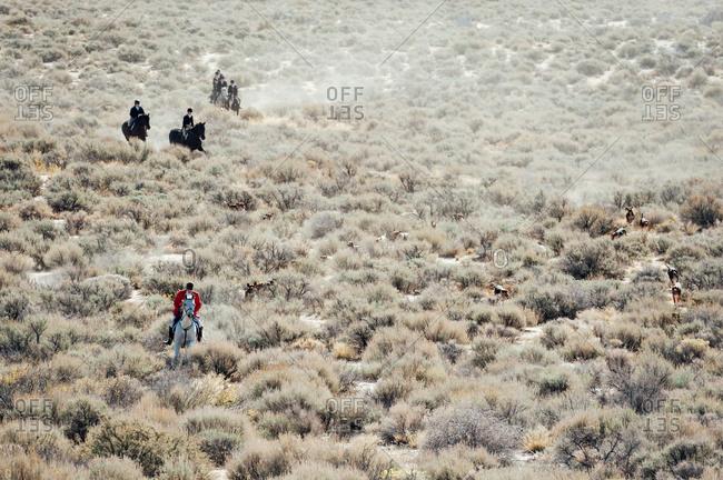 Fox hunt in progress in the Nevada desert